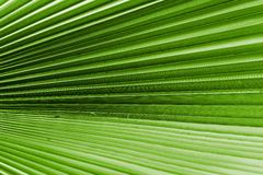Texture of a palm leaf closeup green color Royalty Free Stock Photo