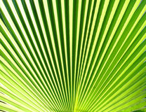 Texture palm Leaf Royalty Free Stock Photography