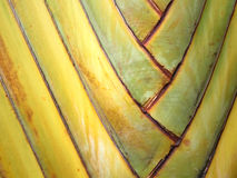 Texture of the palm tree Stock Photography
