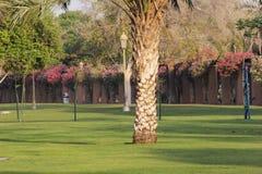 Texture of a Palm Tree Bark in a garden, Dubai. Royalty Free Stock Image