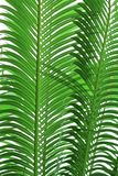 Texture of palm tree leaves Royalty Free Stock Photos