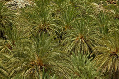 Texture of palm trees Royalty Free Stock Images