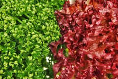 Texture parsley and lettuce Stock Image