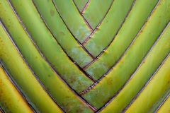 Texture pattern detail banana fan background.palm leaf background in nature weave pattern. Abstract texture pattern detail banana fan background.palm leaf Royalty Free Stock Image