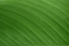 The texture and pattern of green leaf for the background Royalty Free Stock Image
