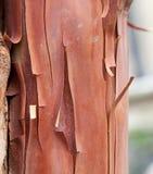 Texture pattern of peeling bark on tree stock image