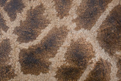 Texture, pattern  on the skin of a giraffe Royalty Free Stock Photography