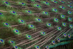 The texture of the peacock feather in the tail Royalty Free Stock Photos