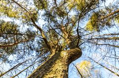 The texture of a perennial tree, majestic pine and its beautiful crown, bottom view royalty free stock photography