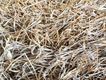 Texture of dried straw for animal feed. Texture of piled dried straw for animal feed royalty free stock photography
