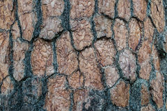 Texture of pine bark. Royalty Free Stock Images