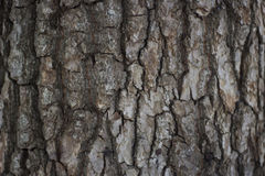 Texture of Pine Bark Stock Photography