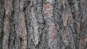 Texture of pine bark. Tree or pine in the forest. Background of tree bark. stock video footage