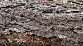 Texture of pine bark. Tree or pine in the forest. Background of tree bark.  stock images