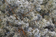 Texture of pine needles that covered with frost Stock Photo