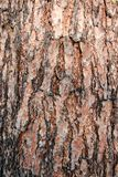 Texture pine tree bark Royalty Free Stock Image