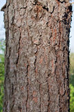 Texture pine tree bark. Texture and detail of pine tree bark Stock Image
