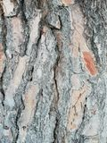 Pine tree bark texture. Texture of pine tree bark in gray and brown tones royalty free stock image