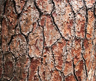 Texture pine tree bark. Texture of bark pine tree growing in the mountains Royalty Free Stock Photography