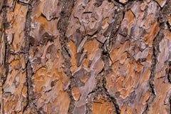 Texture of pine tree bark Royalty Free Stock Image