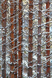 Texture of pine trunks winter. Forest Royalty Free Stock Images