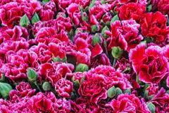 Texture from pink red carnation flowers Turkish karanfil Stock Photos