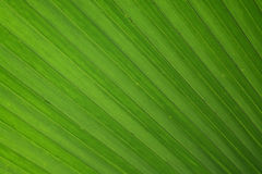 Texture of Plam and coconut leaf as background Royalty Free Stock Images