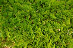 Texture of plant. Texture background with detail of plant Royalty Free Stock Images