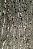 Texture of poplar bark wood on daylight in nature with grooves. Wood bark texture on daylight in nature with grooves. Natural pattern concept. Close up Royalty Free Stock Photography