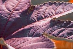 Texture pourpre de congé Feuilles de pourpre dans le jardin Photo libre de droits