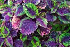 Texture pourpre et verte de feuille pour le fond Image libre de droits