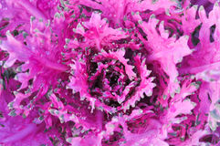 Texture of purple cabbage Stock Images