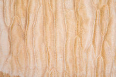 Texture of Quilted Maple. Used as background Stock Images