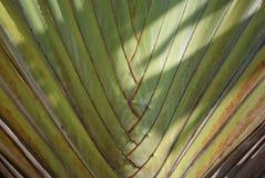 Texture of Ravenala madagascariensis. Closeup texture of Ravenala madagascariensis Royalty Free Stock Photography
