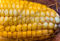 Texture of corn cob sweet maize Royalty Free Stock Image