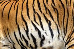 Texture of real tiger Royalty Free Stock Photography