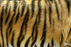 Texture of real tiger skin Stock Photography