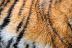 Texture of real tiger skin Royalty Free Stock Image