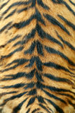 Texture of real tiger skin. Close-up texture of real tiger skin stock photos