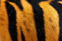 Texture of real tiger skin (fur) Royalty Free Stock Photos