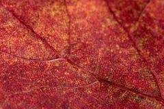 Texture of a red autumn aspen leaf. Macro Royalty Free Stock Photos