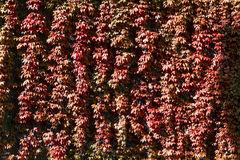 A texture of red climber with leaves, Stock Photography