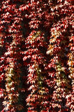 A texture of red climber with leaves,  during autumn Royalty Free Stock Photo