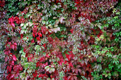Texture of red and green ivy leaves. stock image