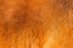 Texture of red horse`s fur in the sun royalty free stock image