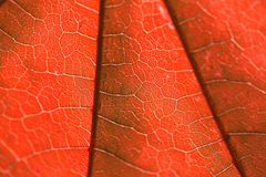 Texture of a red leaf Stock Photos