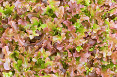 The texture of red lettuce Stock Image