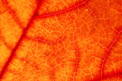 Texture of red  maple leaf. Macro texture of red  maple leaf is background Stock Photos