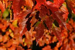 Texture of red and orange autumn leafage of maple tree, Acer genus Royalty Free Stock Photography