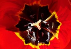 Texture of red tulip flower taken from above. Stock Images